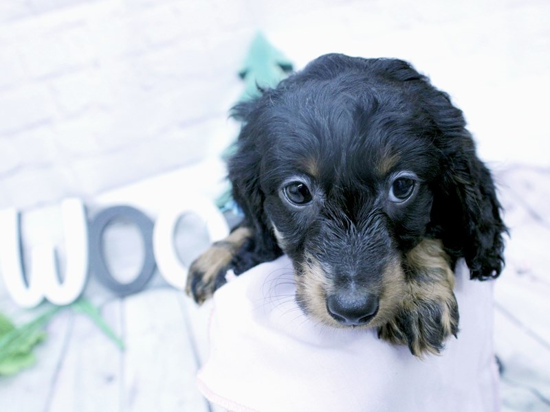 Miniature Dachshund-DOG-Male-Long Haired Silver Dapple Tri-2957284-Petland Wichita, KS