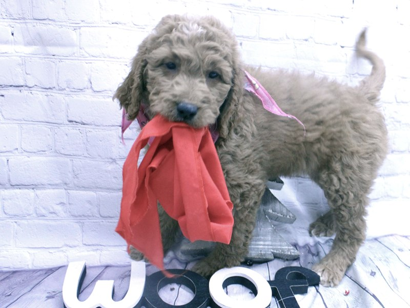 Goldendoodle-DOG-Female-Dark Red w/White on Chest-2957518-Petland Wichita, KS