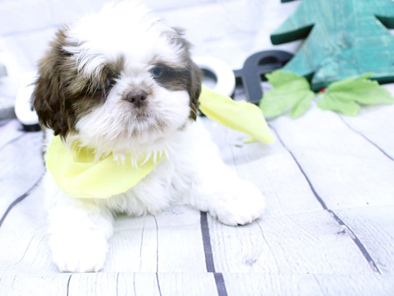 Shih Tzu-DOG-Female-Chocolate and White-2957680-Petland Wichita, KS