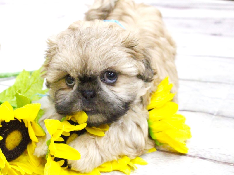 Shih Tzu-Male-Gold w/Black Mask-2982660-Petland Wichita, KS