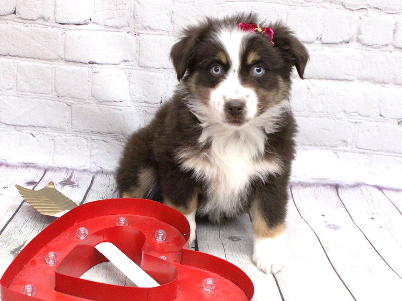 Miniature Australian Shepherd-Female-Blue eyed Red TriColor-2991094-Petland Wichita, KS