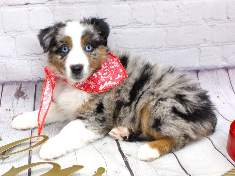 Miniature Australian Shepherd-Male-Blue Merle-2991041-Petland Wichita, KS