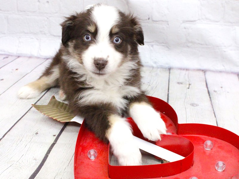 Miniature Australian Shepherd-Female-Blue Eyed Red TriColor-2991103-Petland Wichita, KS