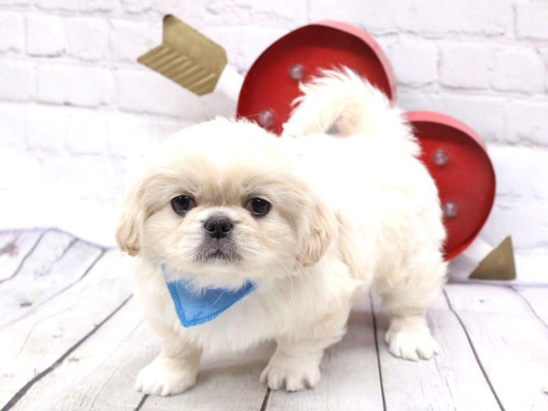 Pekingese-Male-Cream-2990695-Petland Wichita, KS