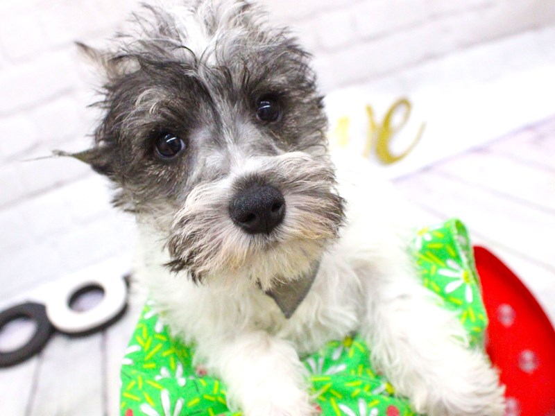 Miniature Schnauzer-Female-Salt and Pepper Parti-2998153-Petland Wichita, KS