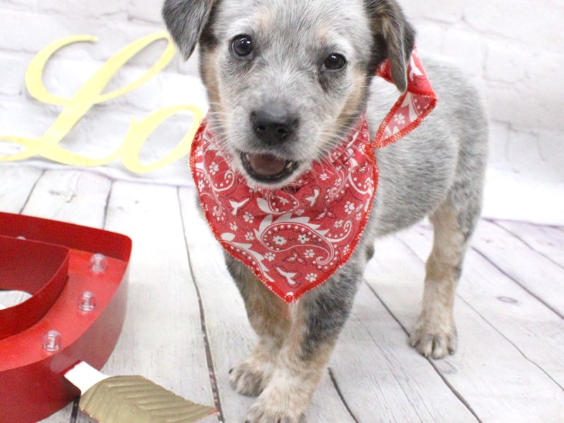 Blue Heeler Mix-Male-Blue-2999600-Petland Wichita, KS