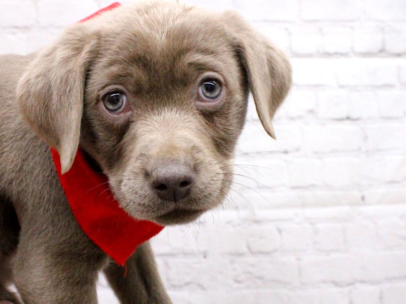 English Labrador Retriever-Male-Silver-2999334-Petland Wichita, KS