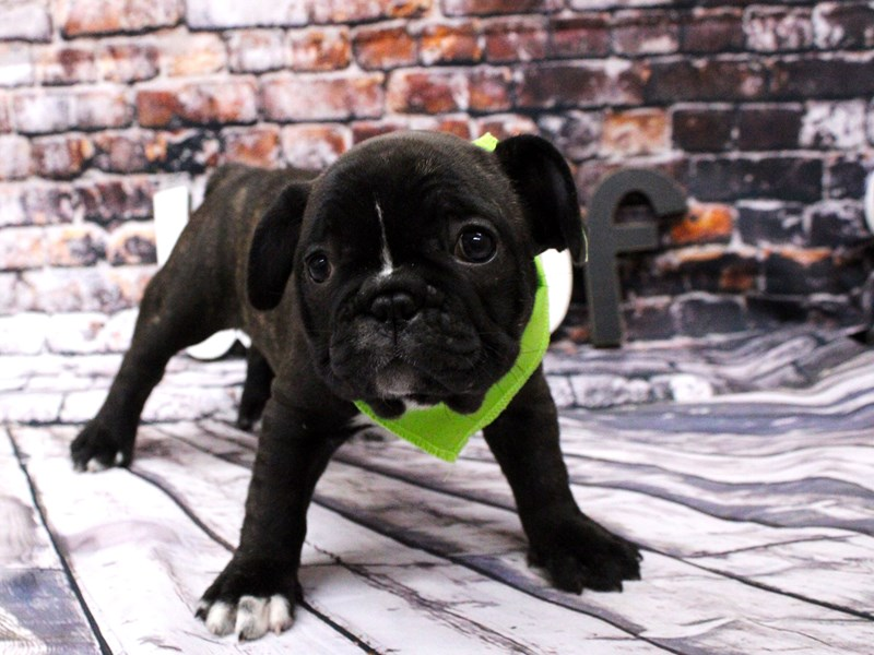 French Bulldog-DOG-Female-Brindle & White-3008300-Petland Wichita, KS