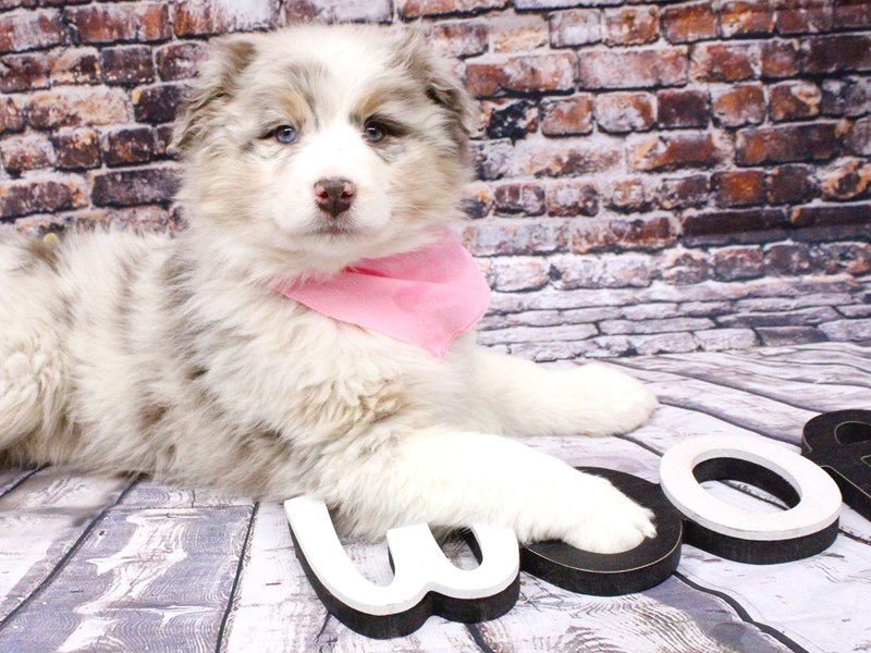 Australian Shepherd-Female-Red Merle-3008288-Petland Wichita, KS