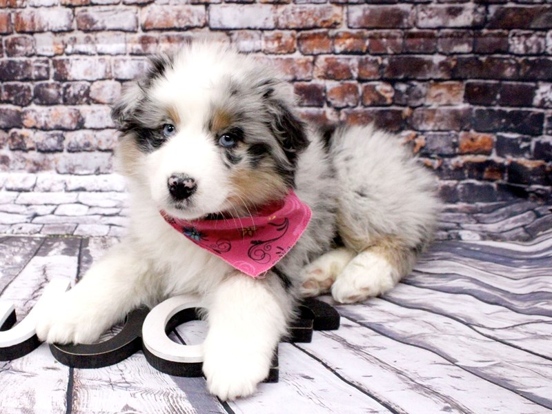 Australian Shepherd-Female-Blue Merle-3008274-Petland Wichita, KS