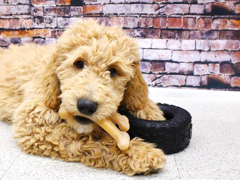Goldendoodle-Male-Golden-2957609-Petland Wichita, KS