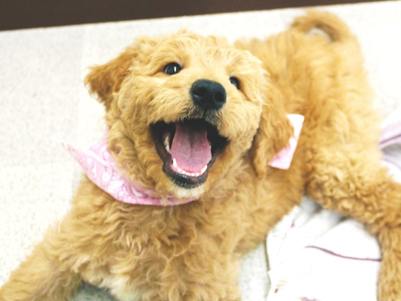 Goldendoodle-Female-Golden-2957585-Petland Wichita, KS