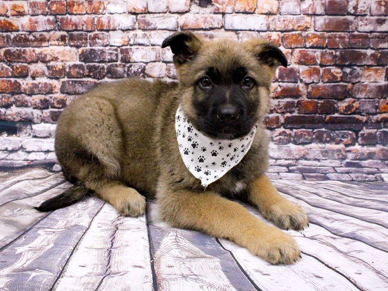 German Shepherd-Male-Sable-3017484-Petland Wichita, KS