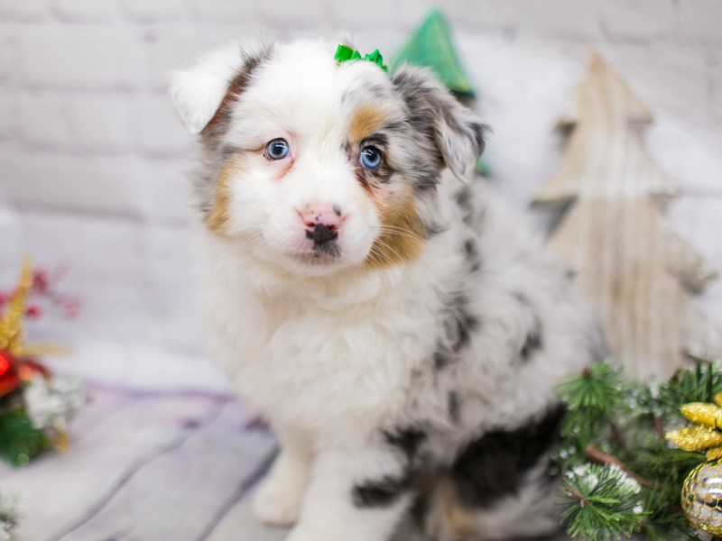 Miniature Australian Shepherd-Female-Blue Merle-2948555-Petland Wichita, KS