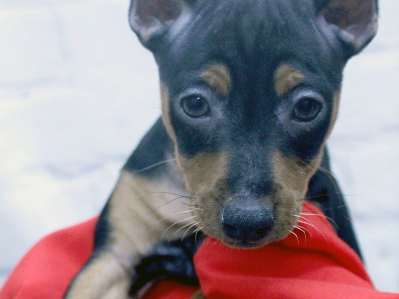 Miniature Pinscher-Female-Black And Rust-2956985-Petland Wichita, KS