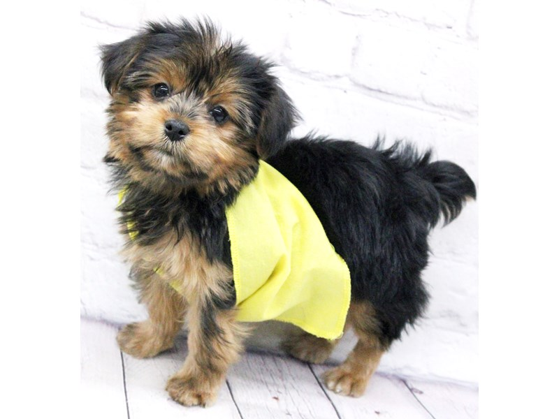 Yorkshire Terrier-DOG-Female-Black & Gold-2973537-Petland Wichita, KS
