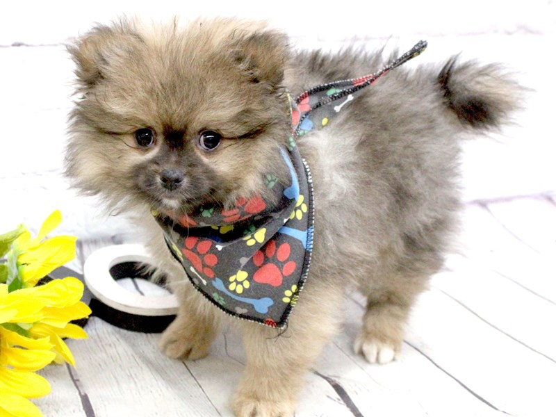 Pomeranian-DOG-Male-Sable-2982748-Petland Wichita, KS