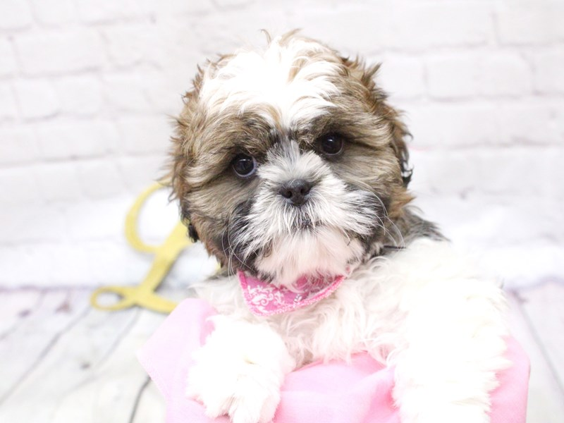 Shih Tzu-Female-Gold & White w/ Black Markings-2982698-Petland Wichita, KS