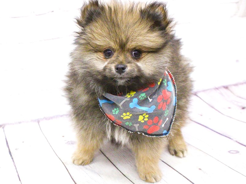Pomeranian-Male-Dark Sable-2982750-Petland Wichita, KS