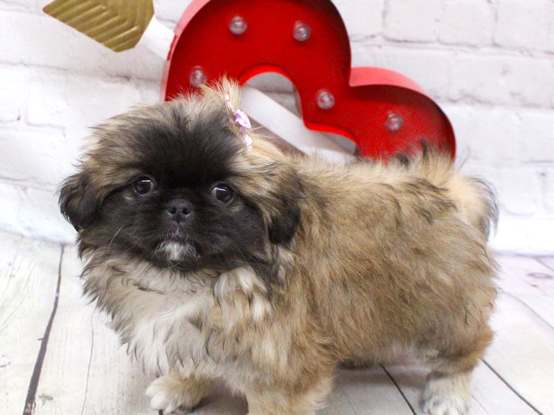 Pekingese-Female-Sable-2990781-Petland Wichita, KS