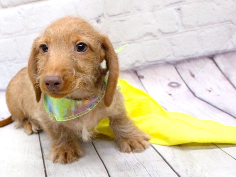 Miniature Dachshund-DOG-Male-Wire Haired Red Gold-2973693-Petland Wichita, KS