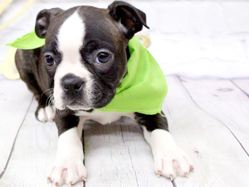 Boston Terrier-Female-Brindle Tux-2999317-Petland Wichita, KS