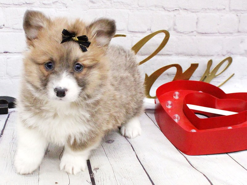 Pembroke Welsh Corgi-Female-Blue Fawn Sable & White-2999559-Petland Wichita, KS