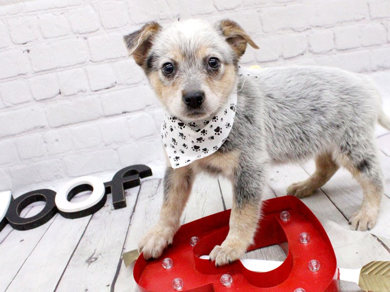 Blue Heeler Mix-Male-Blue-2999596-Petland Wichita, KS