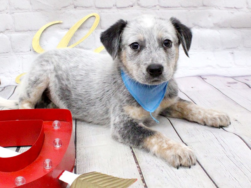 Blue Heeler Mix-DOG-Male-Blue-2999599-Petland Wichita, KS