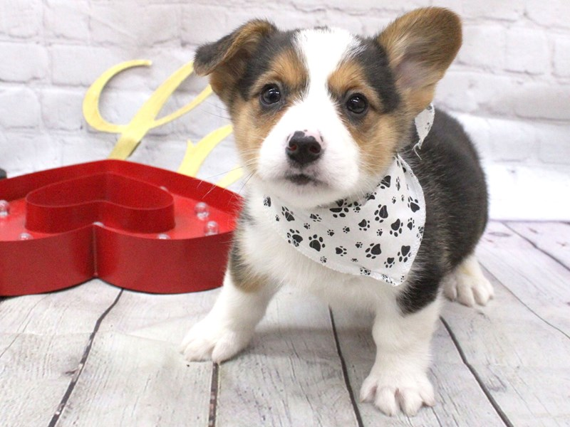 Pembroke Welsh Corgi-Male-Black Tri-2999545-Petland Wichita, KS