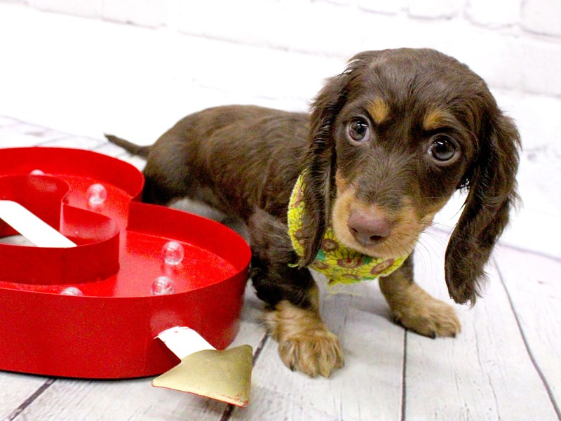 Miniature Dachshund-DOG-Female-Long Haired Chocolate and Tan-2999470-Petland Wichita, KS