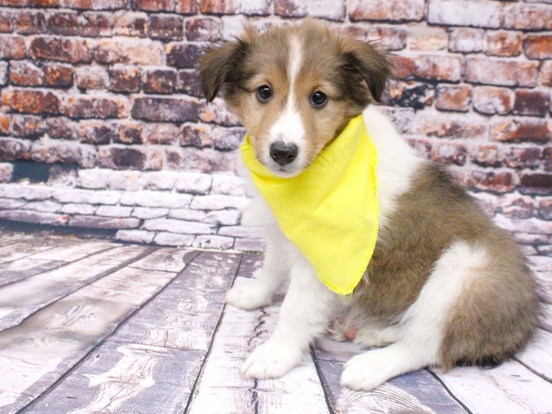 Shetland Sheepdog-Female-Sable & White-3008343-Petland Wichita, KS