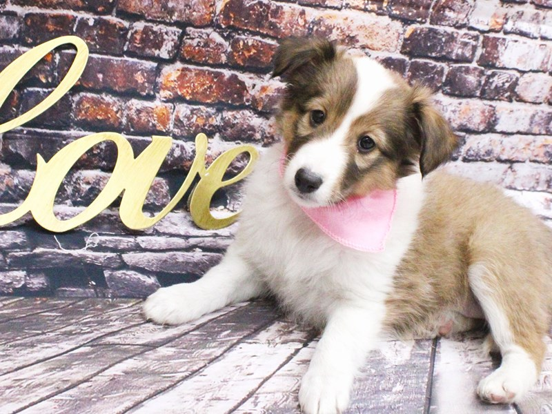 Shetland Sheepdog-Female-Sable & White-3008340-Petland Wichita, KS