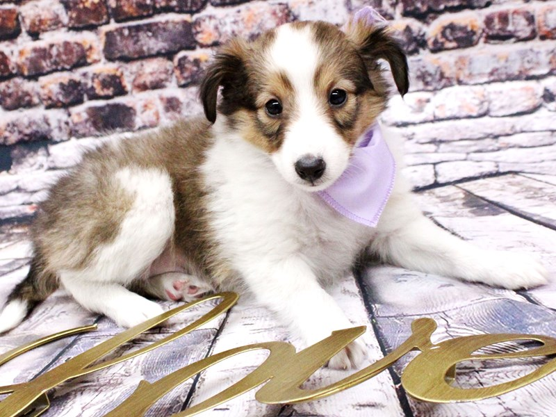 Shetland Sheepdog-Female-Sable & White-3008337-Petland Wichita, KS