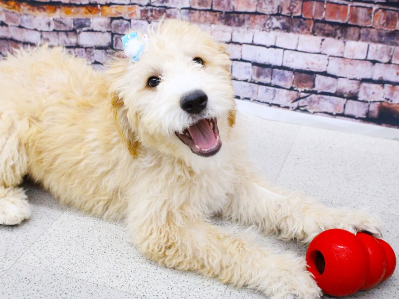 Goldendoodle-Female-Gold w/White Blaze-2957584-Petland Wichita, KS