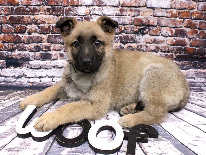 German Shepherd-Male-Sable-3017422-Petland Wichita, KS