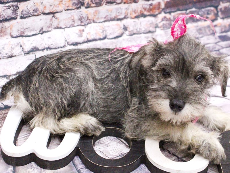 Miniature Schnauzer-Female-Salt & Pepper-3017303-Petland Wichita, KS