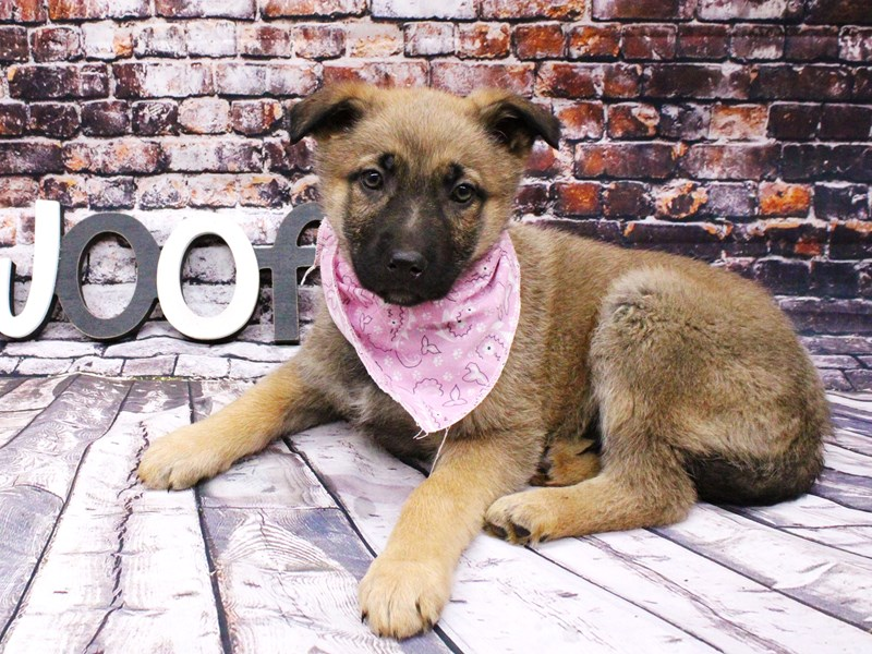 German Shepherd-DOG-Female-Sable-3017488-Petland Wichita, KS