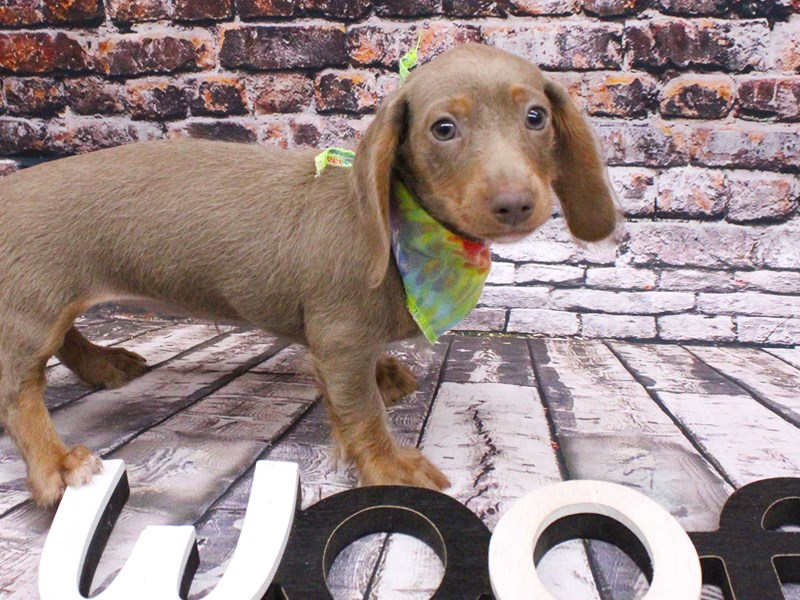 Miniature Dachshund-DOG-Female-Long Haired Blue & Isabella tan-3017202-Petland Wichita, KS