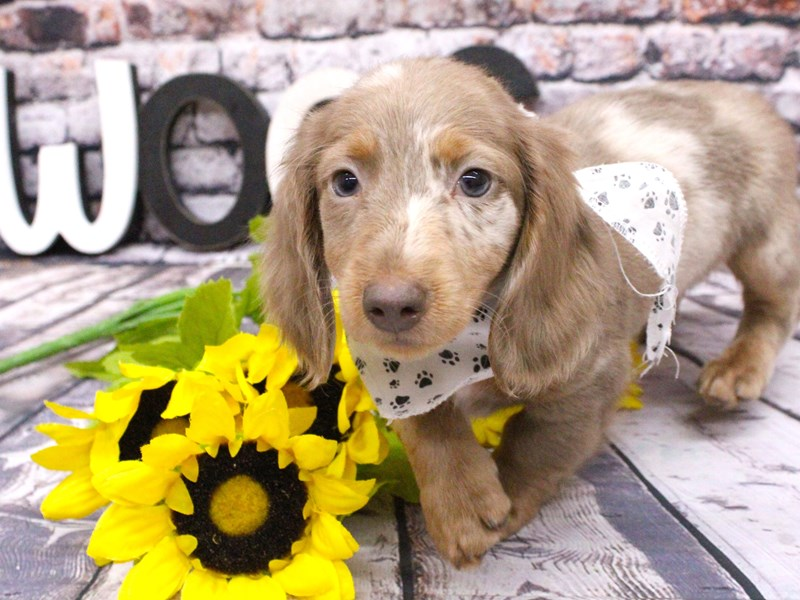 Miniature Dachshund-Male-Long Haired Isabella Dapple-3027433-Petland Wichita, KS