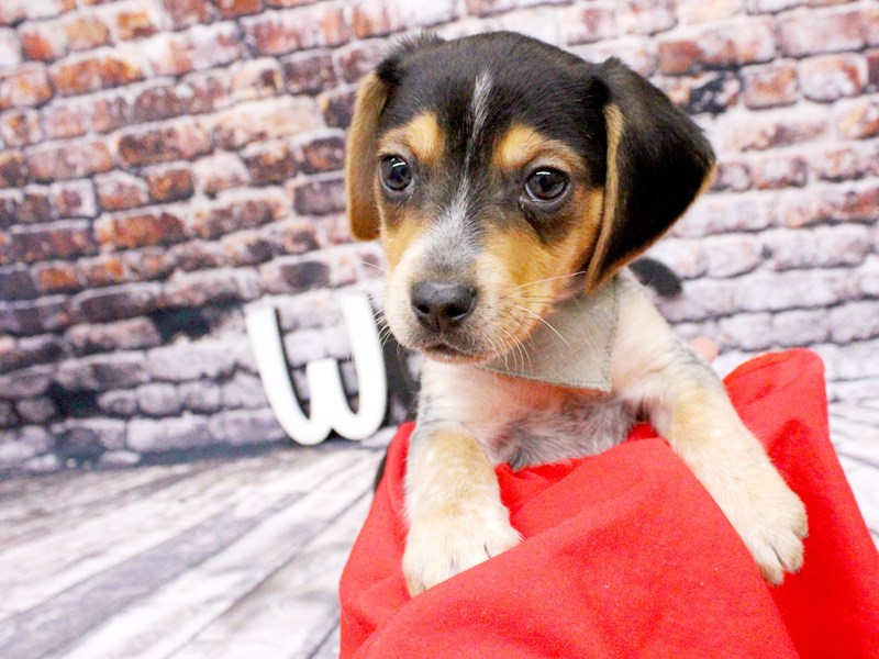 Beagle-Male-Black Tri-3027075-Petland Wichita, KS