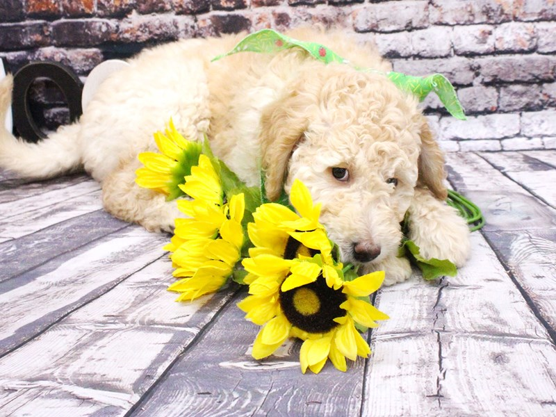 F1B Goldendoodle-Female-Gold-3027512-Petland Wichita, KS