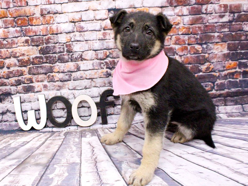 German Shepherd-Female-Black & Tan-3017499-Petland Wichita, KS