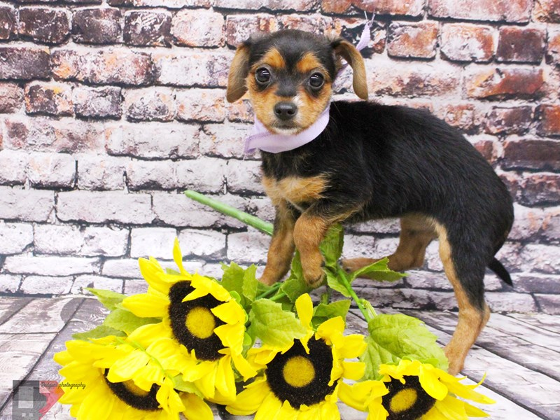 Chorkie-DOG-Female-Black & Tan-3037325-Petland Wichita, KS