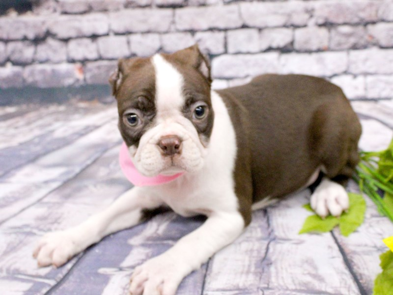 Boston Terrier-Female-Chocolate & White-3037328-Petland Wichita, KS