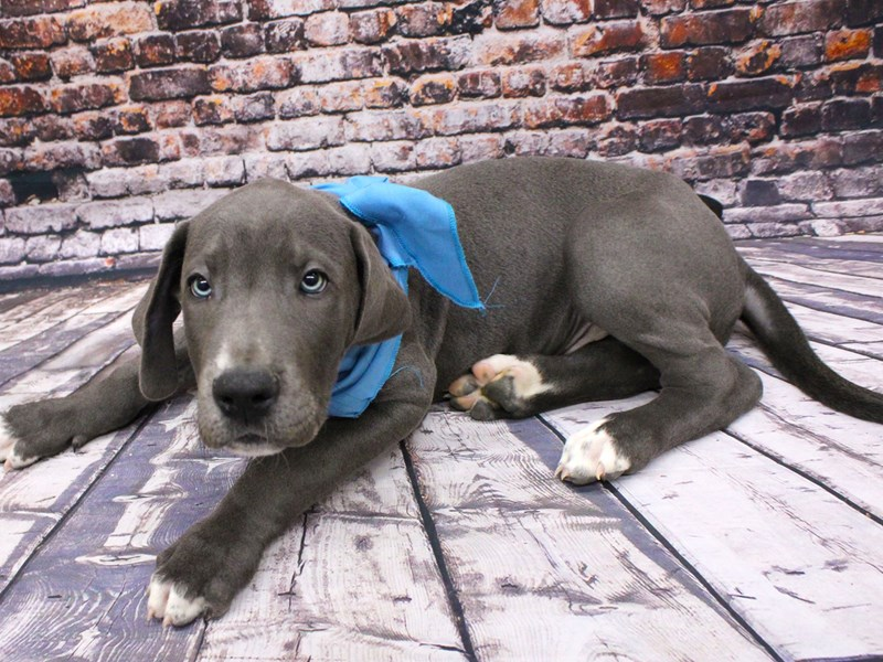 Great Dane-Male-Blue w/White Chest/Toes-3037551-Petland Wichita, KS
