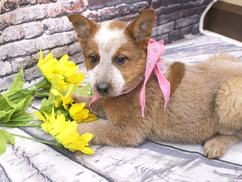 Red Heeler-Female-Red Heeler-3035642-Petland Wichita, KS