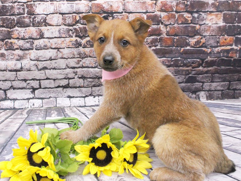 Red Heeler-Female-Red Heeler-3035639-Petland Wichita, KS
