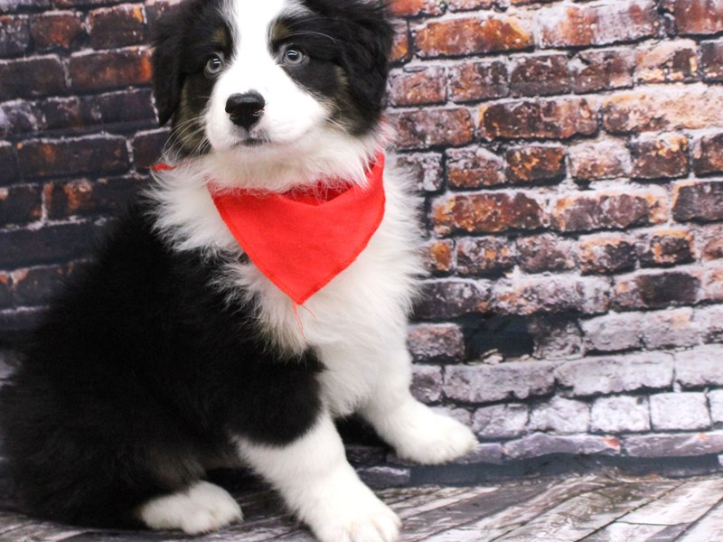 Australian Shepherd-Male-Black Tri w/Hazel Eyes-3037319-Petland Wichita, KS