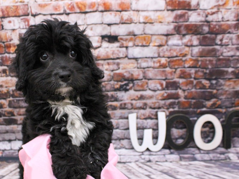 Miniature Aussiedoodle-DOG-Female-Black-3037392-Petland Wichita, KS